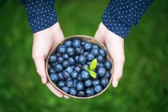 Girl`s hands with a bowl of freshly harvested organic blueberries. stock photo