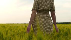 The girl`s hands close-up. Woman walking on a wheat field, gently touching the fingers of ears at sunset. The camera follows in slow motion stock footage