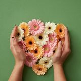 The girl`s hands hold gerbera flowers Stock Image