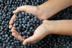Girl's Hands Holding Fresh Picked Blueberries Stock Photo