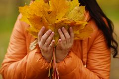Girl`s hands in an orange jacket hold yellow maple leaves stock photos