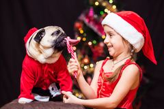 A girl in Santa Claus costume gives a pug to lick a candy cane n. Ear the tree Stock Images