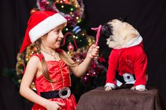A girl in Santa Claus costume gives a pug to lick a candy cane n. Ear the tree Royalty Free Stock Image