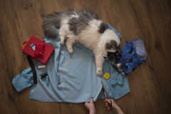 Girl sews clothes for a cat from an old shirt Royalty Free Stock Image