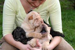 Girl with a sharpei litter. Young girl hugs a sharpeis Royalty Free Stock Photos