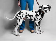 The girl shows a Dalmatian dog in front royalty free stock photos