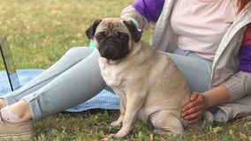 Close up girl combing her pug out in a park stock footage