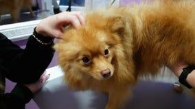 Girl strokes cute Spitz, dog in the groomer salon stock video footage