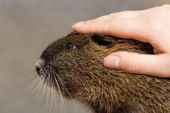 Girl stroking a black nutria, coypu Royalty Free Stock Photography