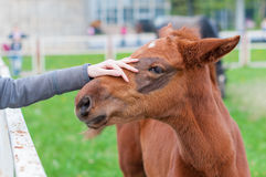 Girl stroking a brown head of foal Royalty Free Stock Images