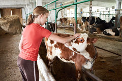 Girl stroking calf on dairy farm Stock Images
