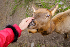Girl stroking northern deer, close-up, zoo in Prague, Czech Repu Royalty Free Stock Images