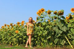 The girl in the sunflowers royalty free stock photography