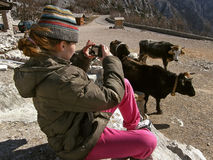 Girl taking photos of cows royalty free stock photography