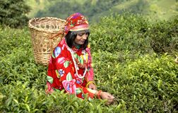 A girl in the tea garden plucking tea leaves Stock Image