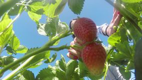 Girl tear strawberry from bush stock footage
