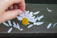 The girl tears off the petals of chamomile to find out their fate. royalty free stock photography