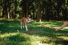 Girl teasing her dog with a stick in the park. Ona summer day stock photo