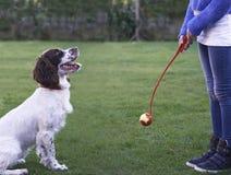 Girl Throwing Ball For Pet Spaniel Dog In Garden stock image
