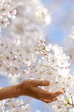 Girl to hold the cherry blossom in a hand. Royalty Free Stock Image
