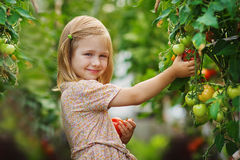 Girl and tomato harvest. A lovely little girl gathering in ripe tomato harvest in a vegetable garden. Kids are playing. Little helpers Stock Photo