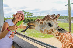 Woman touching a giraffe Stock Photography