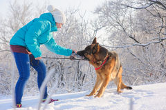 Girl trains her dog German Shepherd. Girl trains her German Shepherd. German Shepherd playing with toy and his mistress in winter sunny day. Girl walks her Royalty Free Stock Images