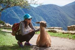 Girl traveller with lama. Girl traveller interact with lama animal on sunny day light in Peru Machu Picchu royalty free stock photos