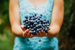 The girl treats and offers fresh juicy ripe grapes. Wine production, vineyard, vinery in Italy Royalty Free Stock Image