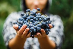 The girl treats and offers fresh juicy ripe grapes. Wine production, vineyard, vinery in Italy Royalty Free Stock Photography