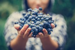 The girl treats and offers fresh juicy ripe grapes. Wine production, vineyard, vinery in Italy Stock Images