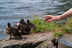The girl is trying to stroke the ducklings. A woman`s hand reaches out to the ducklings.  Stock Photo