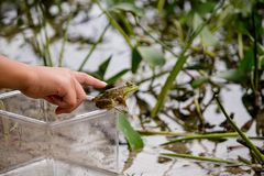 Girl trying to touch a green frog sitting on a jar near the water