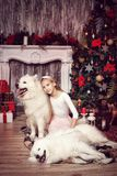 Girl and two Samoyed Laika in the studio Royalty Free Stock Photography