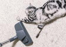 Vacuuming the house. bright carpet. cleaning service. cat sprawled on the floor royalty free stock image