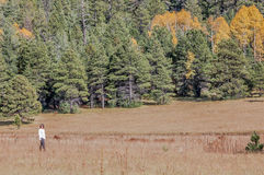 Girl Walking in the Aspens. Forest of tall white aspen trees in Aspen Royalty Free Stock Photo