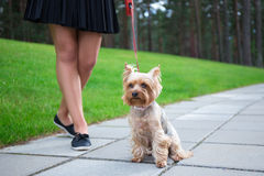 Girl walking with dog yorkshire terrier in park Stock Photos