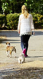 Girl Walking with Dogs. Girl walking dogs home at the end of the day, she has a cell phone in her hand stock photos