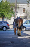 Girl Walking Horse Downtown Charleston SC Stock Images