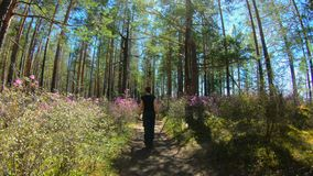 Girl walks along a forest trail among the pink flowers of Rhododendron. In a bright sunny day stock video