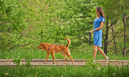 Girl walks with dog Labrador retriever Royalty Free Stock Photo