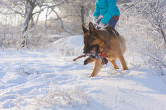 Girl walks her German Shepherd dog. German Shepherd playing with toy and his mistress in winter sunny day. Girl walks her German Shepherd or dog on background of Stock Image