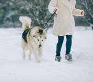 A girl walks in snowy forest and leads a dog Alaskan Malamute on a leash