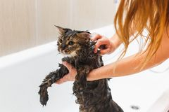 Girl washes a fluffy cat in a white bath royalty free stock photo