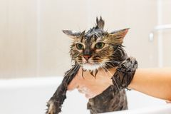 Girl washes a fluffy cat in a white bath stock images