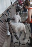 Girl washing sheep Royalty Free Stock Photo