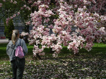 Girl watching magnolia tree. Magnolia is oldest tree flower on earth. It is from jurasic period. Flowers are huge as insects in jurasic period were bigger than Stock Photos