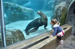 Girl watching a sea lion 2 Stock Photography