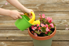 Girl watering potted flowers. A little girl waters a potted begonia plant with a green watering can Stock Photos