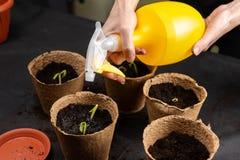Girl watering seedlings planted in peat pots. Growing seedlings royalty free stock photo